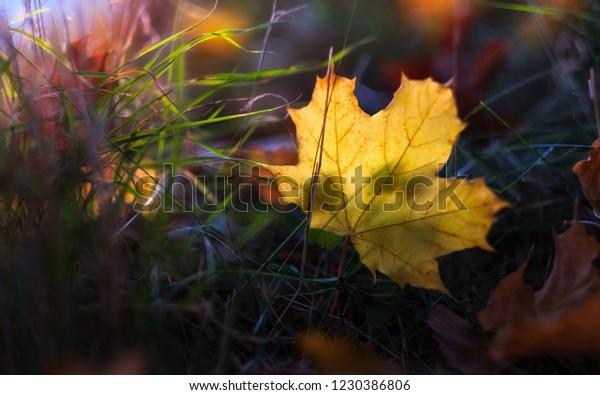 fallen leaf in the grass. early autumn idyll. Liptovsky Mikulas, SLOVAKIA
