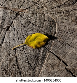 Fallen Leaf Lies on Old Stump in Deciduous Forest, Close-Up. Autumn Season.