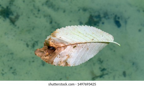 Fallen leaf on the water surface