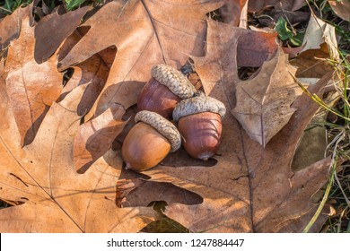 fallen leaves and acorns of the Quercus rubra / northern red oak