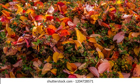 Fallen leaves in autumn from the japanese cherrytree on the still green leaves and flowering of Spiraea japonica 'Nana' or dwarf Japanese spirea.