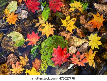 Fallen leaves, autumn maple, texture, multicoloured autumnal foliage