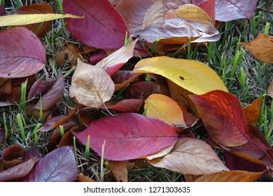 fallen leaves, autumnal tints