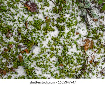 Fallen leaves and cones on the ground, mixed with snow flakes, close up