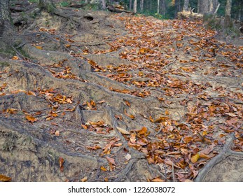 fallen leaves of the hornbeam lie between the roots of trees on a mountain path