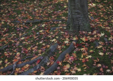 The Fallen Leaves Of Maple