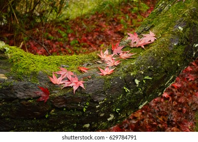 Fallen leaves with an old tree covered with moss in Japan
