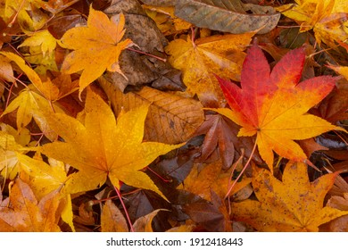 Up of fallen leaves of wet autumn leaves