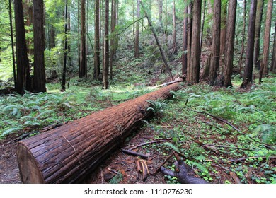Fallen Log, Redwood Forest, Muir Woods, National Monument, California, United States