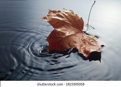 Fallen maple leave on watter puddle. Fall seasonal specific. Leave in rain.