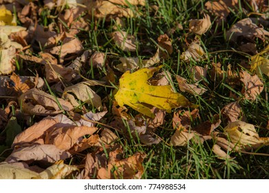 Fallen maple leaves laying on the grass.