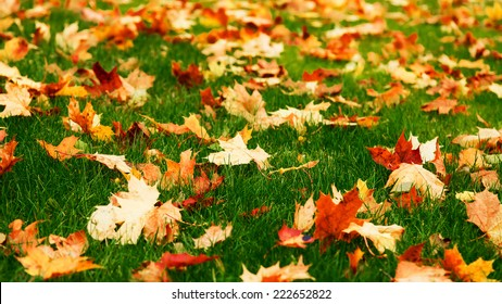 Fallen maple leaves on green grass
