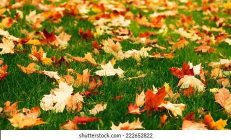 Fallen maple leaves on green grass