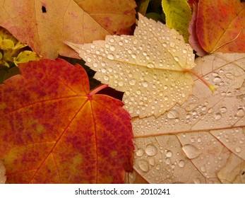 Fallen maple leaves with rain drops