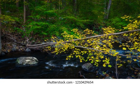 Fallen maple tree in autumn color across a stream