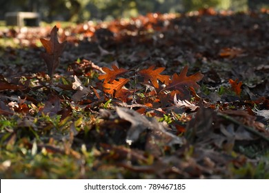 Fallen oak leaf on pile