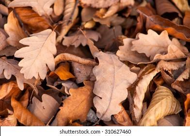 Fallen oak leaves. Autumn.