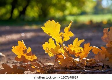 fallen oak leaves on a footpath in autumn