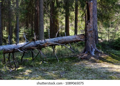 fallen old big tree in the forest. Forest landscape - Shutterstock ID 1089065075