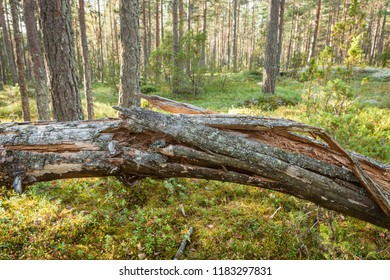 Fallen old tree decay in forest