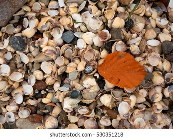 Fallen orange beech leaf on thousands seashells, empty shell on beach