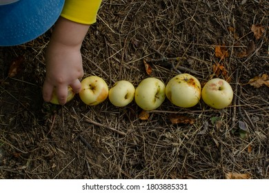 Fallen organic apples stacked on the ground