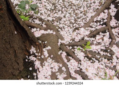 Fallen petals filling the ground among the roots of the cherry blossom tree.