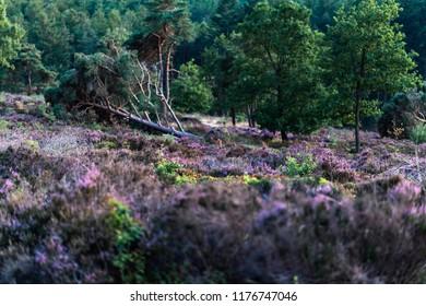 Fallen pine tree in blooming heather.