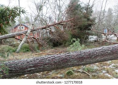 Fallen pine trees after the terrible storm Alfrida in Roslagen in the east part of Sweden