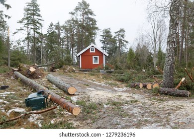 Fallen pine trees after the terrible storm Alfrida in Roslagen in the east part of Sweden