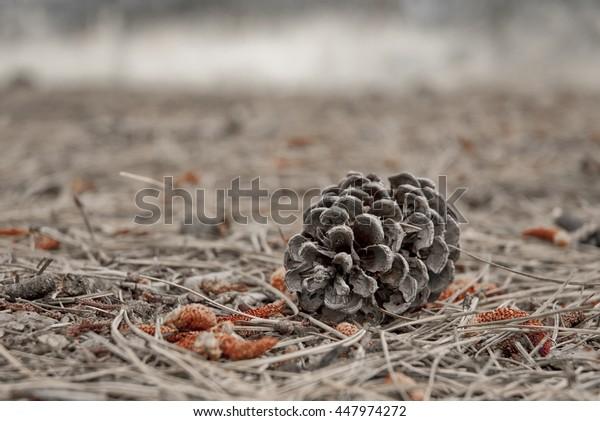 Fallen Pinecone