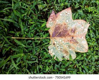 Fallen Poplar Leaf lying in the grass