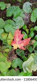 A fallen red Autumn leaf surrounded by green leaves. no background blur.