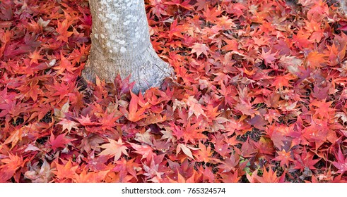 Fallen red and orange Japanese maple leaves surrounding the base of the tree.  Bright and colorful.
