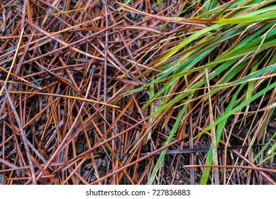 Fallen red,brown pine needles and green,yellow leaves on the ground in the forest.Autumn Concept.
