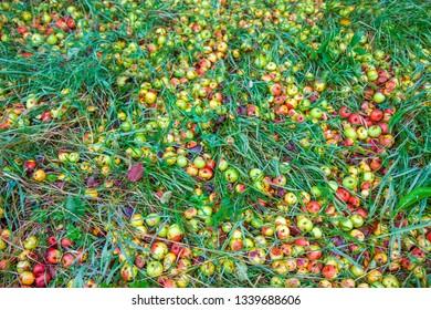 Fallen rotten apples on green grass in the garden