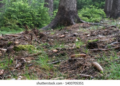 Fallen spruce cones and branches in the foreground. Grass and needles on the ground. Trunks of old spruce trees and young spruce trees on the background. Wet forest.