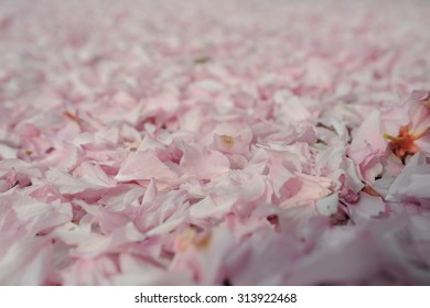 Fallen tender pinkish blossom sakura tree petals completely covered background in spring outdoor copy space, hoizontal picture