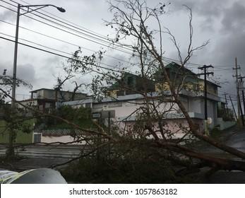 fallen tree after hurricane maria