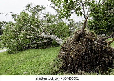 Fallen tree after typhoon. A fallen tree after Soudelor typhoon in Taipei city, Taiwan at August 8, 2015.