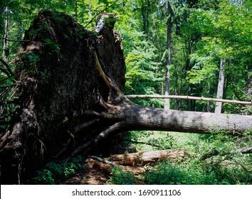 Fallen tree, Bialowieza Forest, Bialowieza National Park, Poland