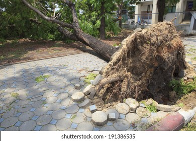 fallen tree damaged  on walking way by natural wind storm