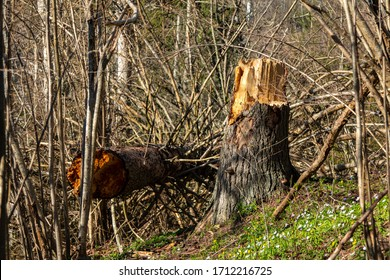 Fallen tree in the forest after a storm. Storm damage.