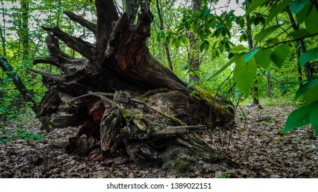 Fallen tree in forest with large roots. old tree roots covered in moss