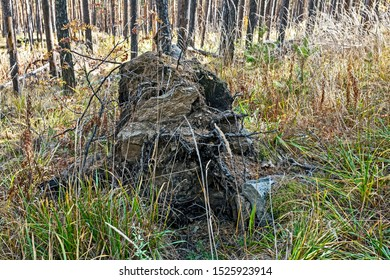 fallen tree in the forest is rooted up, the roots of the tree are intertwined with the stones on which it grew