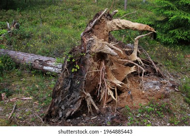 fallen tree in the forest, soil upturned by the roots
