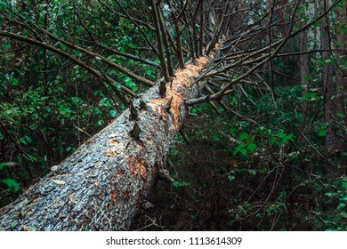 Fallen tree. Green pine, fallen by a hurricane lies among the green bushes in the forest.