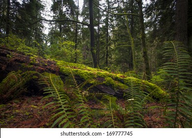 Fallen tree or nurse log sits in an old growth forest.
