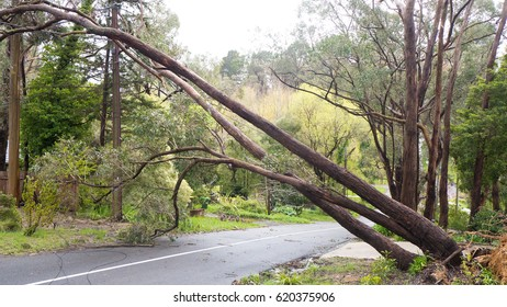 Fallen tree resting on powerlines with telephone cable lying on road in the Adelaide Hills, South Australia