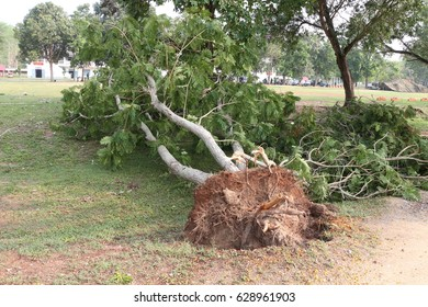 Fallen tree, root